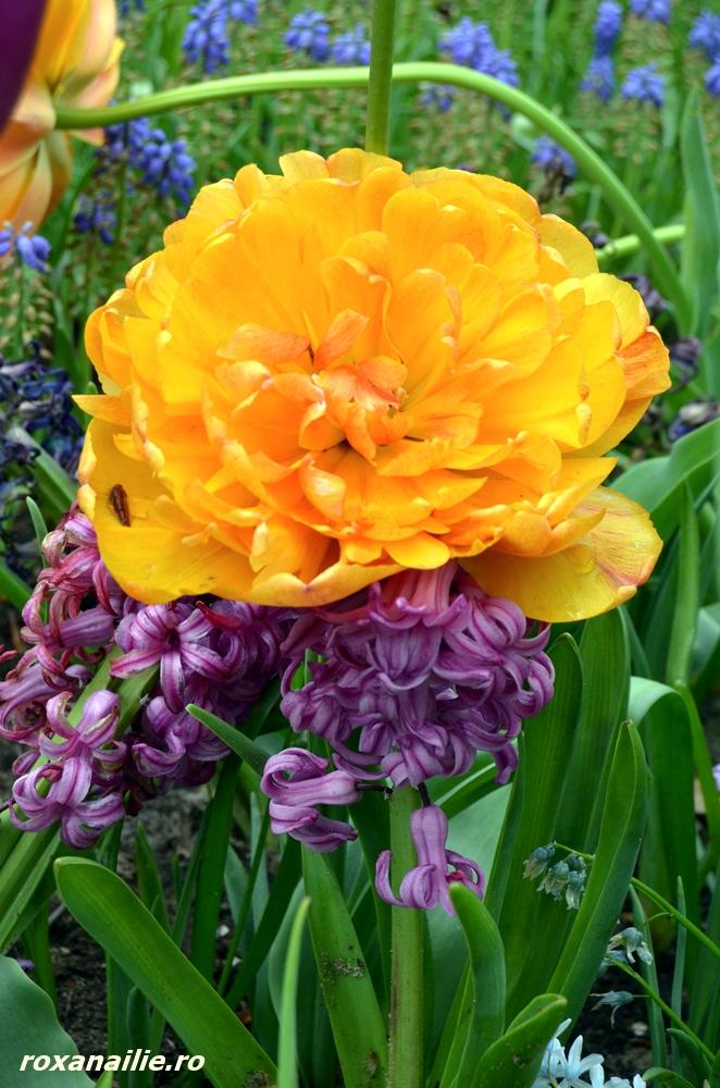 Complementaritatea culorilor și formei florilor la Keukenhof