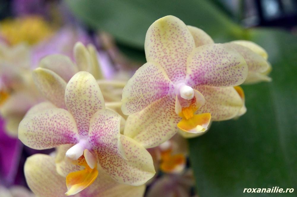 Orhideele din pavilionul Wilhelmina te țintuiesc în loc cu … eleganță